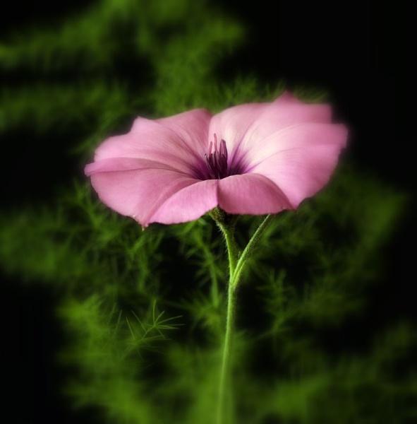 Pink flower by Geoffers