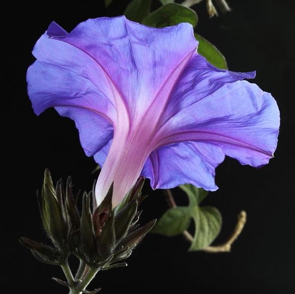 Morning Glory flower by Geoffers