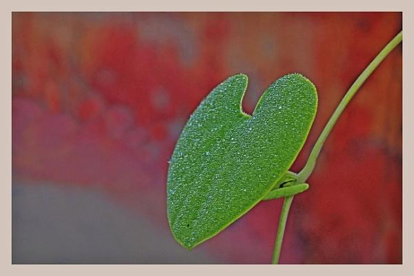 Aritsolokia  leaf