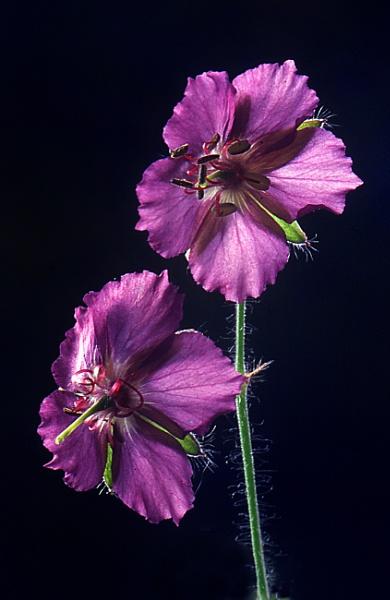 """Flowers of Geranium """"Phaeum"""""""