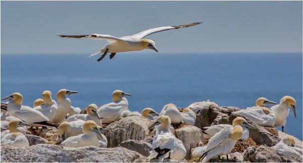 Gannet Colony by mjparmy