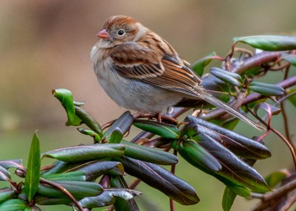 Field sparrow by JeffGresko