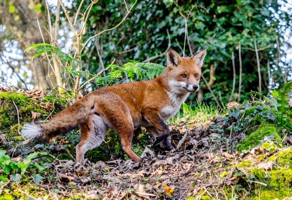 Red Fox Vixen by BigErnie