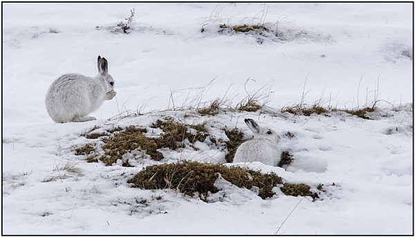 Two Mountain Hares by hibbz
