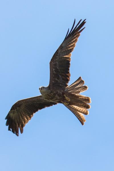 Black Kite in flight by Trekmaster01