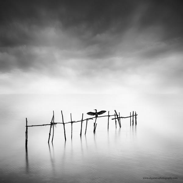 Cormorant by Diggeo