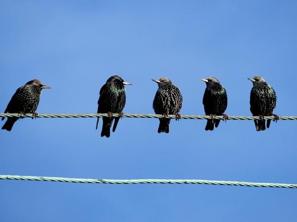 Starlings on a wire by DerekHollis