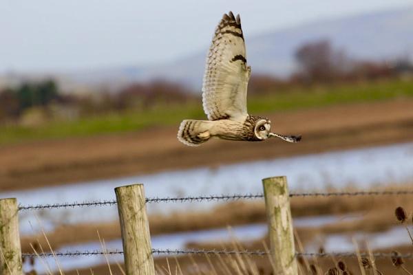 Short eared owl by Lencollard