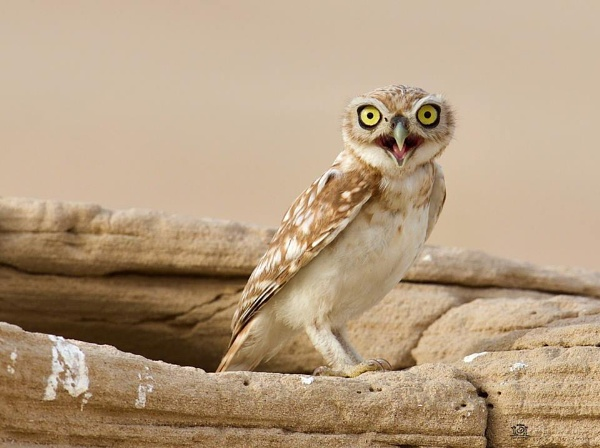 Desert little Owl by paul_kinnock