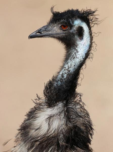 Emu by paul_kinnock
