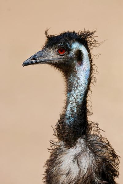 Portrait of a Emu by paul_kinnock