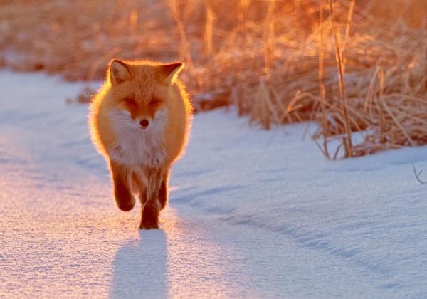 Fox in Notsukehanto by hannukon