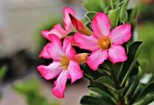Desert rose by pedromontes