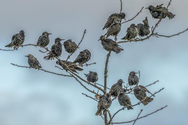 Starlings in tree by gerti62