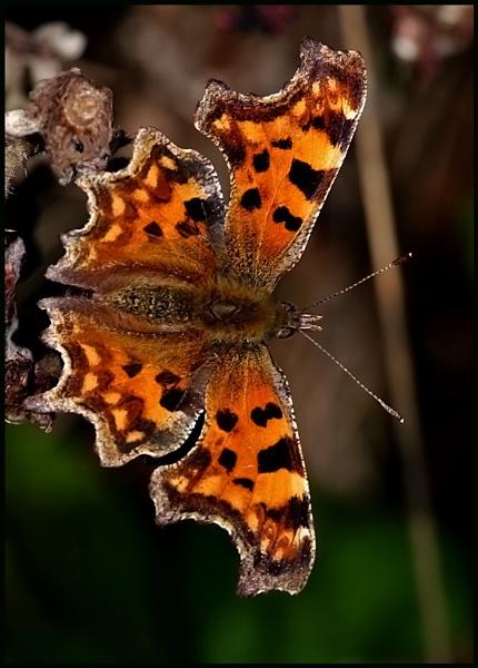 Comma Butterfly Basking: