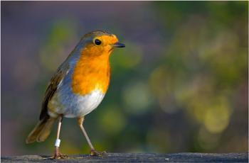A robin.