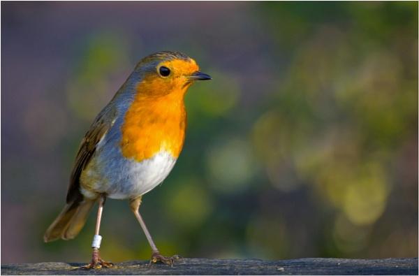 A robin. by franken