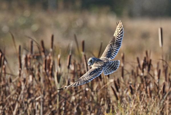 Short Eared Owl by HenB