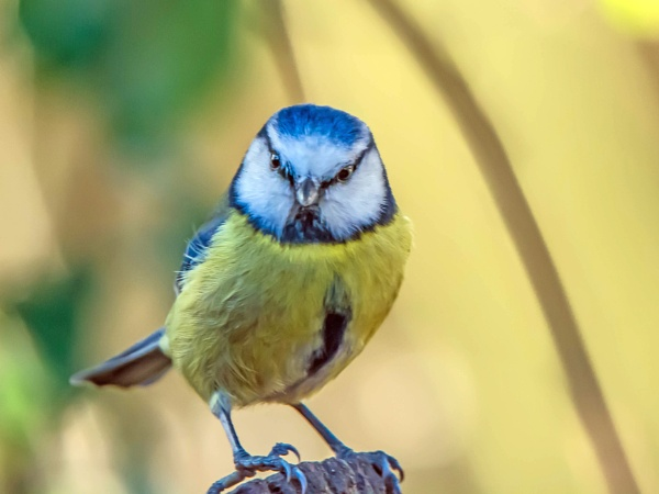 Blue Tit. by delboy85