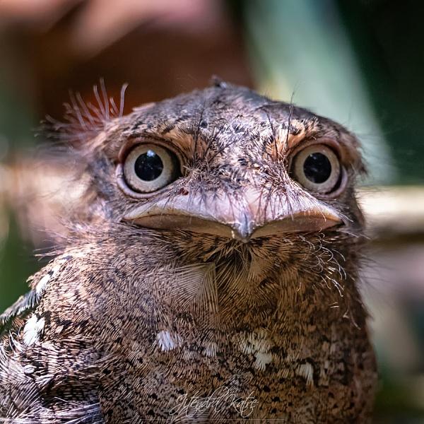Srilankan frogmouth by drjskatre