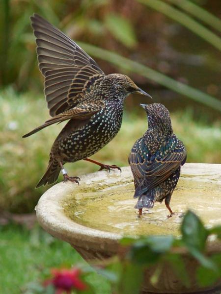 Starlings by Ian G W
