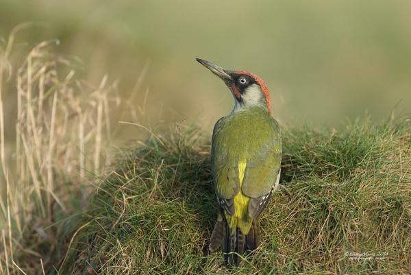 Green Woodpecker by Louise_Morris