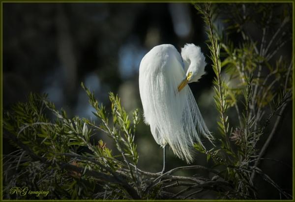 Preening egret by rgg