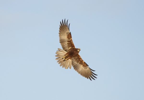 Marsh Harrier by ali63