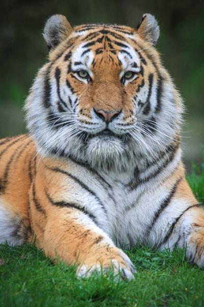Amur Tiger by jcannon