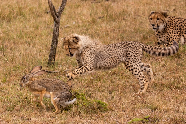 Cheetah cub catches scrub hare beside mother by NickDale