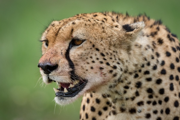 Close-up of cheetah head on lush grassland by NickDale