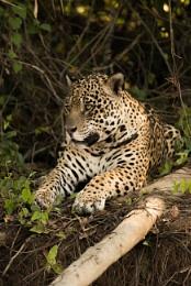 Jaguar lying beside log on earth bank