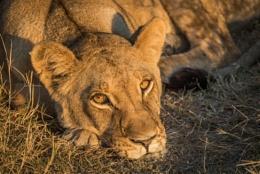Close-up of sleepy lion staring at camera