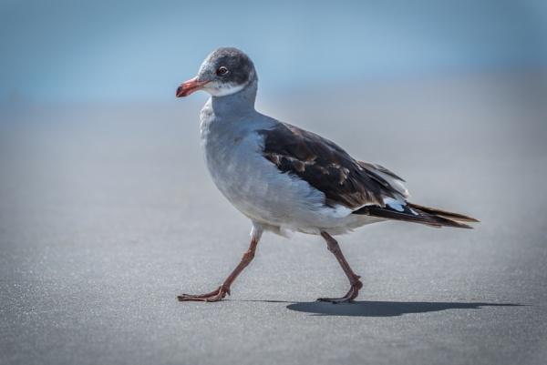 Juvenile dolphin gull walks on sandy beach by NickDale
