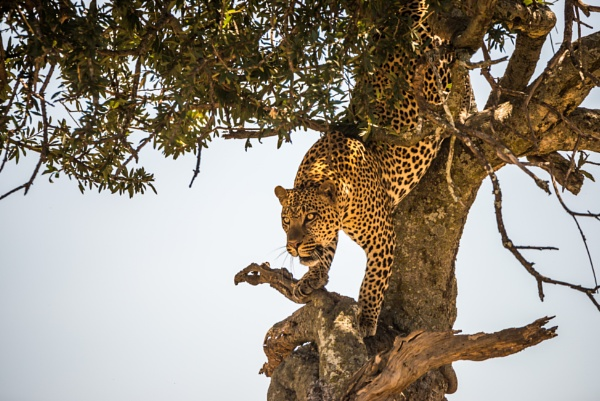 Leopard climbing down tree in dappled sunlight by NickDale