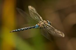 Male migrant hawker dragonfly flying through undergrowth