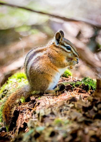 Chipmunk by NickDale