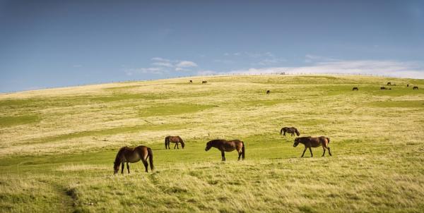 Exmoor Ponies by TrotterFechan