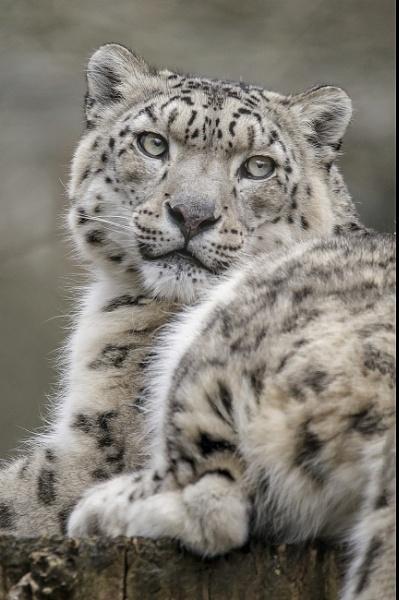 Female Snowleopard by rickie