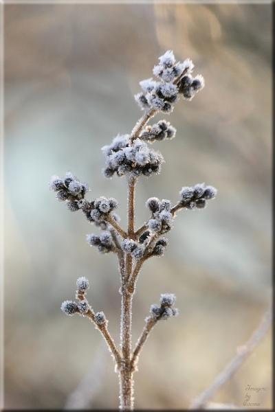 Frosty Flaura.