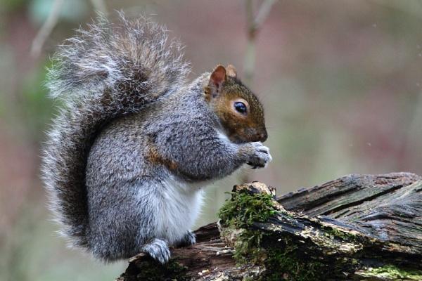 Squirrel by Philipwatson