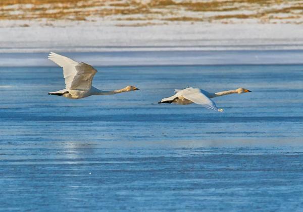 Whooper swans in Vanjärvi by hannukon