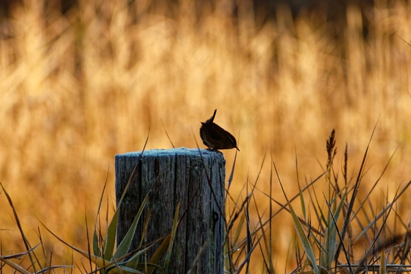 silhouetted Wren. by simmo73