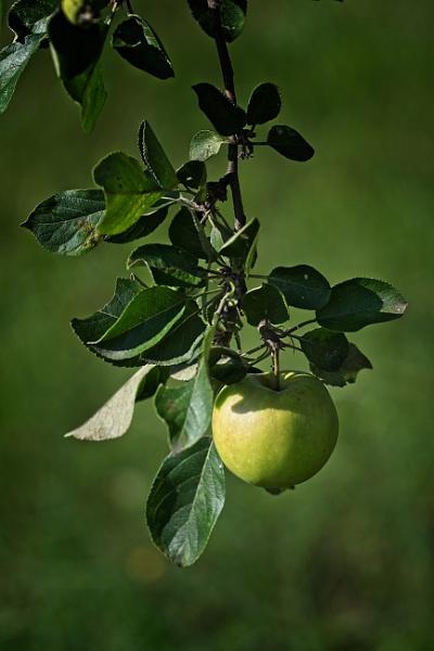 Apple in gardern of Zdar nad Sazavou castle by konig