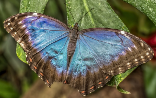 Blauwe morpho by gerti62