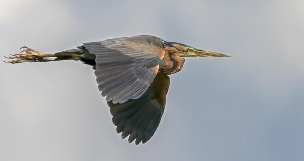 Purple heron in flight by gerti62