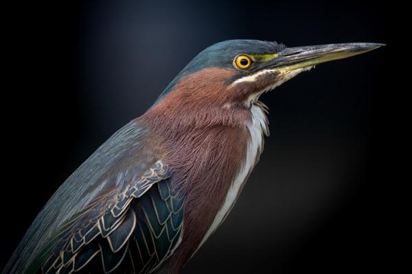 Green Heron by DBoardman