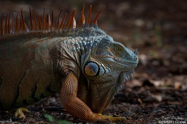 Iguana by DBoardman