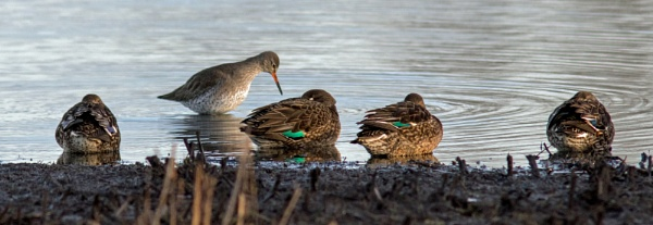Redshank and sleeping teal by oldgreyheron