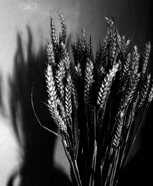 Wheat by helenlinda